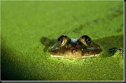 frog swimming