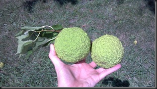 walnuts_green