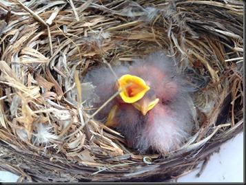 baby birds_5-9-13