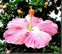 hibiscus_raindrops
